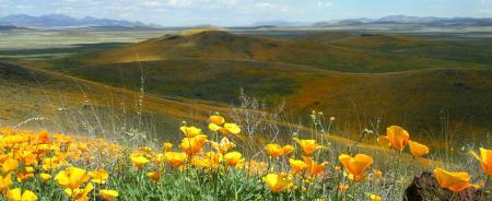 borderlands poppies from mbg website