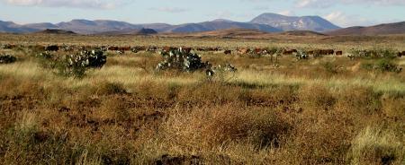 cattle in borderlands from mbg website