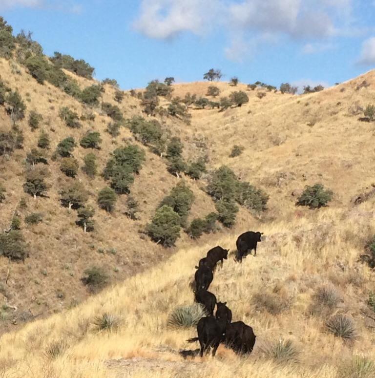 3-31-2017_cattle trailing