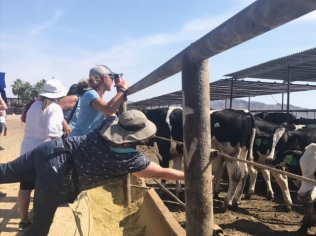 Teachers getting personal encounters with the Holstein steers at Heiden Field and Cattle.